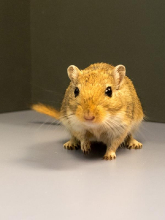 Die Wissenschaftler haben im Tiermodell untersucht, was im Gehirn von Wüstenrennmäusen nach Beschallung mit einem lauten Ton passiert  Reinhard Blumenstein  LIN
