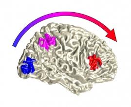 Illustration der Verarbeitung von Sinnesreizen im Gehirn: Flexibilität wird erst auf einer höheren Verarbeitungsstufe verortet (rot). Foto: Universität Bielefeld, C. Kayser
